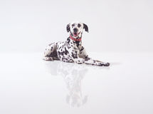 Dalmata on white Royalty Free Stock Photos