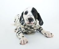 Dalmatain Puppy Royalty Free Stock Image