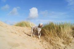 Dalmate ayant l'amusement sur la plage Photo stock