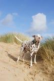 Dalmate ayant l'amusement sur la plage Photos stock