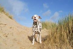 Dalmate ayant l'amusement sur la plage Photo libre de droits