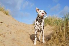 Dalmate ayant l'amusement sur la plage Image stock