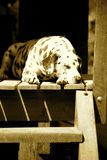 Dalmate de sommeil Image stock