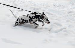 Dalmate noir et blanc de race de chien photos libres de droits