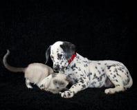 Dalmatia Puppy and a unhappy kitten. Royalty Free Stock Photos