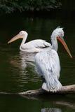 dalmatian пеликан Стоковое Фото
