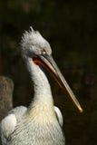 dalmatian пеликан Стоковая Фотография RF