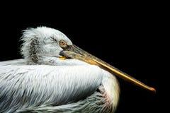 dalmatian пеликан Стоковая Фотография
