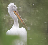dalmatian пеликан Стоковые Изображения