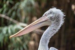 dalmatian пеликан Стоковые Изображения RF