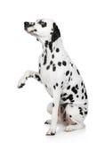dalmatian собака дает лапку Стоковое Фото