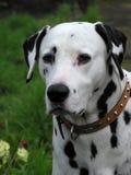 Dalmatian собака Стоковые Фотографии RF