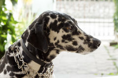 dalmatian собака стоковые фото