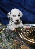 dalmatian щенок подарка стоковые изображения rf