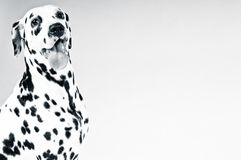 Dalmatian щенок Стоковые Изображения RF