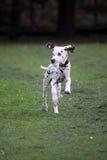dalmatian щенок Стоковое Изображение
