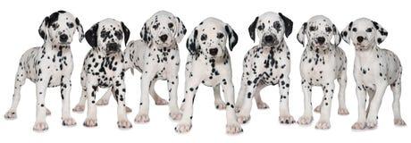 Dalmatian щенята стоковые фотографии rf