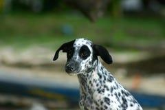 Dalmatian 1 Royalty Free Stock Image