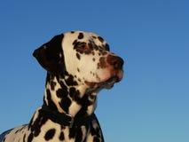 Dalmatian Stock Photography