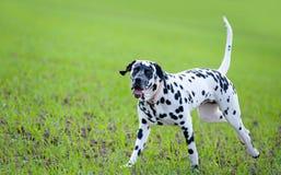 Free Dalmatian Royalty Free Stock Image - 20279086