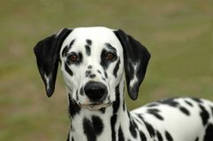 Dalmatian. A beautiful Dalmatian dog head portrait with cute expression in the face watching other dogs in the park outdoors stock photo
