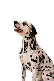 Dalmatian. Dalmatian sitting in front of white background stock photography