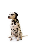 Dalmatian. Royalty Free Stock Photos