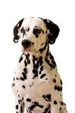 Dalmatian. Stock Photography