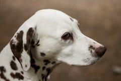 Dalmatian Arkivbilder