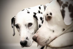 Dalmatian Foto de Stock