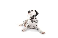 Free Dalmatian Royalty Free Stock Photography - 2865887