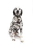 Dalmatian Imagenes de archivo