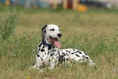 Dalmatian Royalty Free Stock Photo