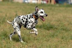 dalmatian Стоковое Изображение RF
