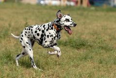 Dalmatian Immagine Stock Libera da Diritti