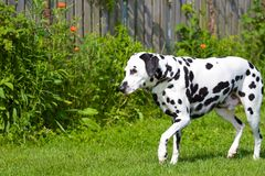 Dalmatian imagen de archivo libre de regalías