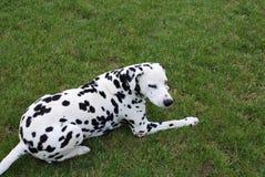 Dalmatian Immagine Stock