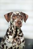 Dalmatian Royaltyfria Bilder