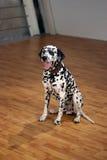 Dalmatian Royalty Free Stock Photography