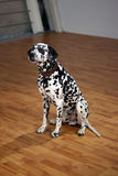 Dalmatian Royalty Free Stock Photos