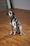 Dalmatian Royalty Free Stock Photos