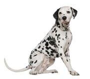 Dalmatian, 4 años foto de archivo libre de regalías