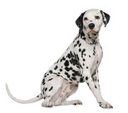Dalmatian, 4 years old Royalty Free Stock Photo
