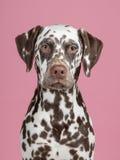 dalmatian Imagem de Stock