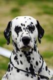 Dalmatian Fotografía de archivo