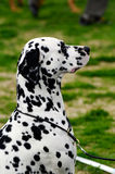 Dalmatian Royalty Free Stock Images