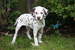 dalmatian щенок Стоковые Фото