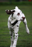 Dalmatian. Pretty Dalmatian puppy running in the countryside in close up stock image