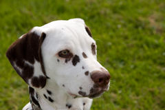 Dalmatian. Portrait of a cute little Dalmatian puppy in close-up royalty free stock image