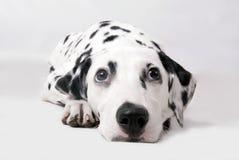 dalmatian Стоковое фото RF